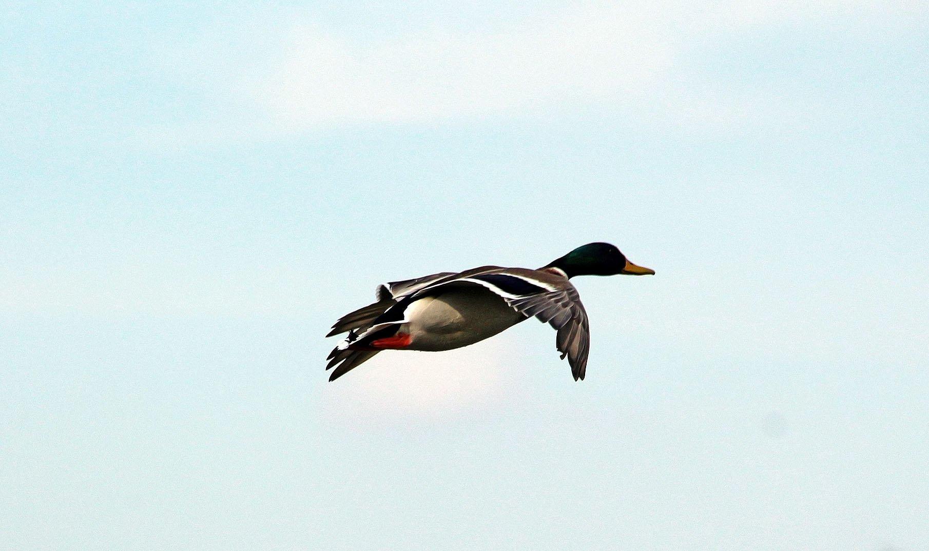 стильно фотографии летящих уток люди