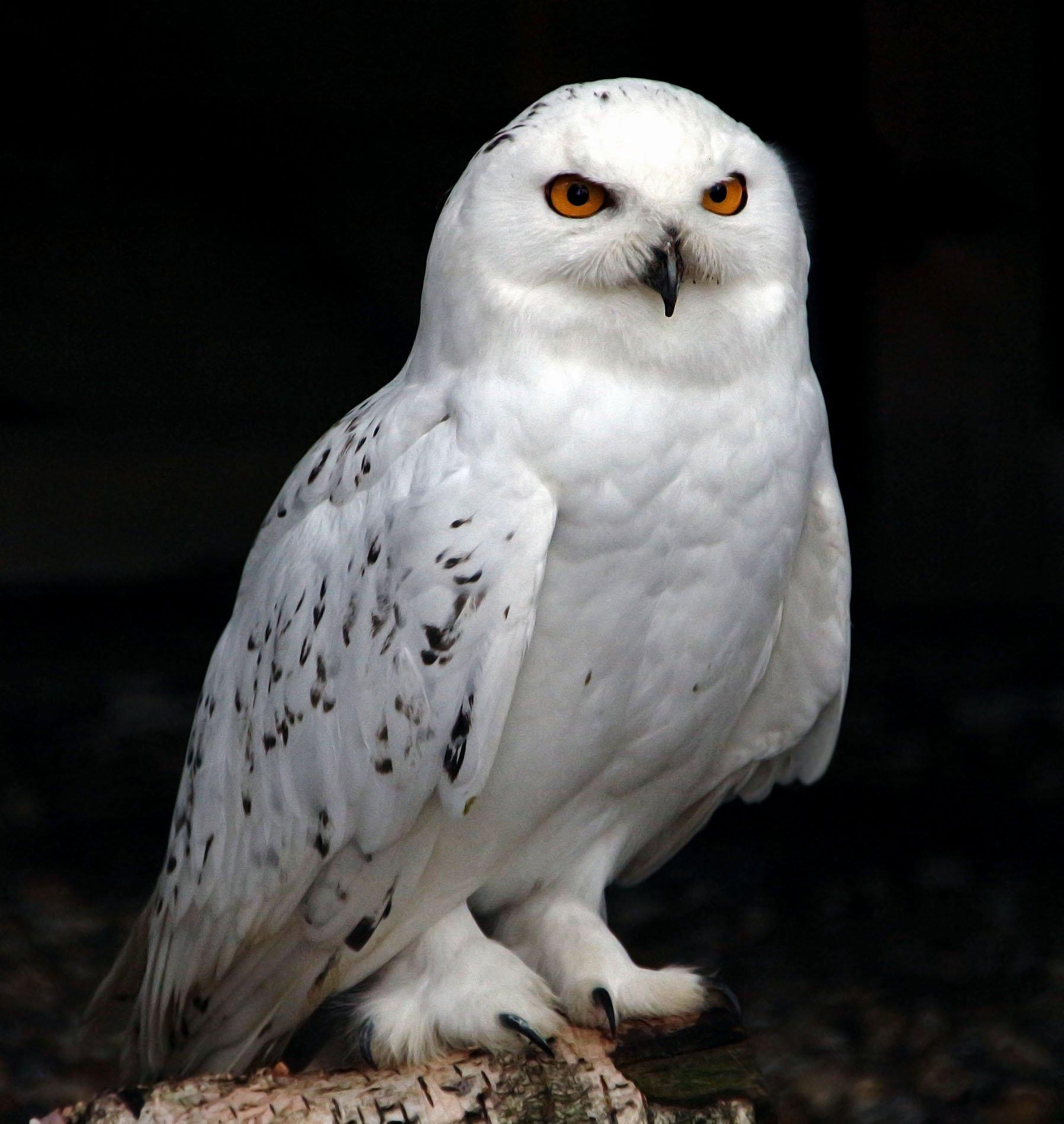 что должны полярная белая сова фото агутин поделился своем