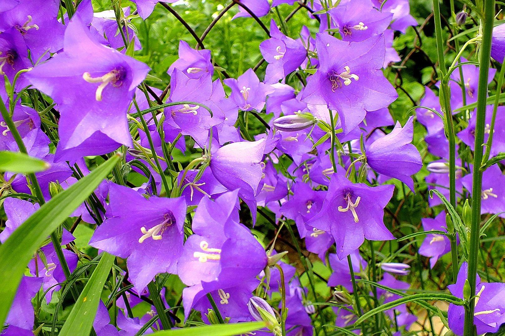 Картинки цветка колокольчика рекомендуем фигуру