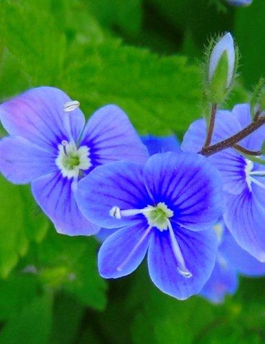 вероника-нежный цветок