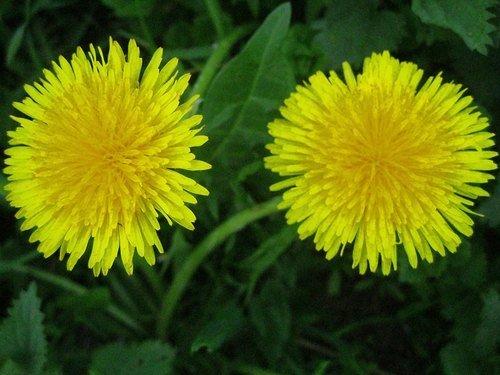 Одуванчики - золото весны