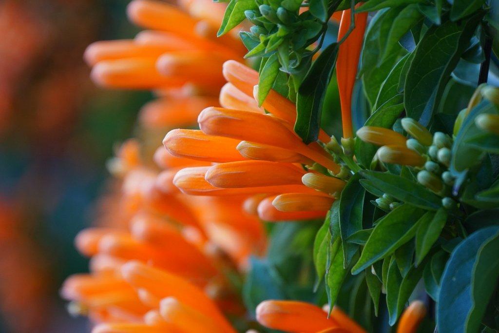Цветы пиростегии