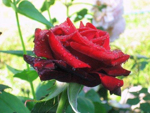 Роза промокла