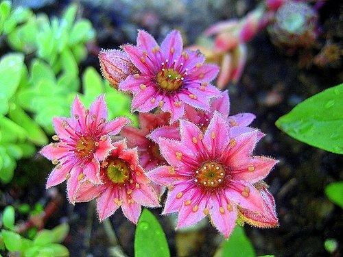 Молодило цветёт