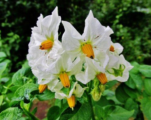 Картофель цветёт