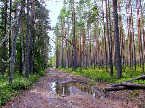 Дорога в сосновом лесу