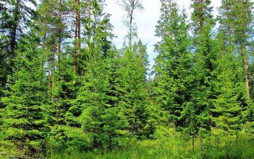 Ёлочки в лесу