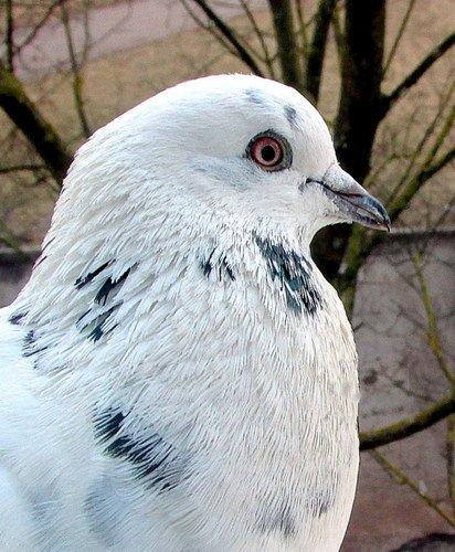 Портрет голубя