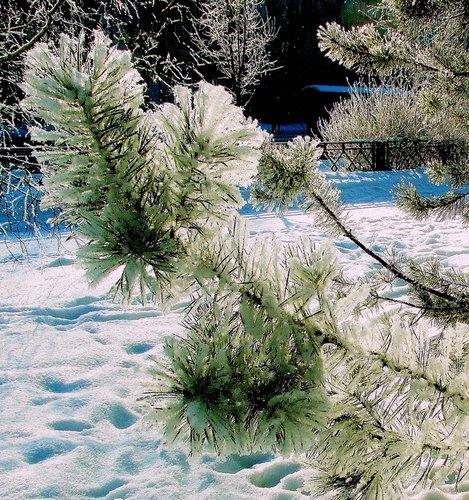Сосновая веточка в снегу