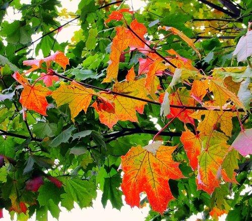 Осень выкрасила клёны...