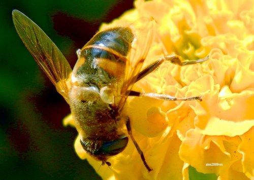 Журчалка и жёлтый цветок