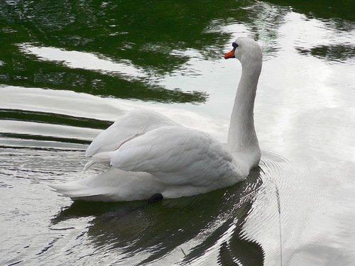 Лебедь белая плывёт