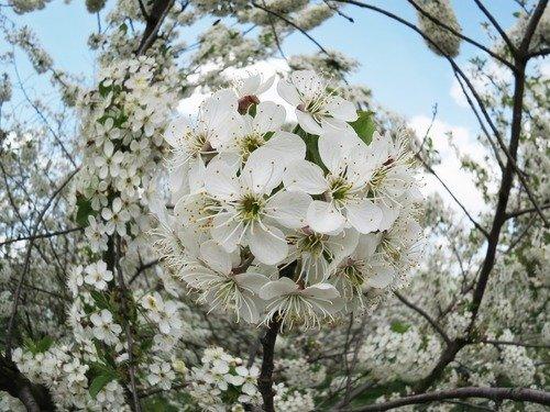 Вишня цветёт - даже листьев не видно...